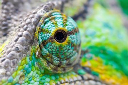 Así cambian de color la piel de un camaleón: con cristales inteligentes