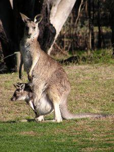Kanguras