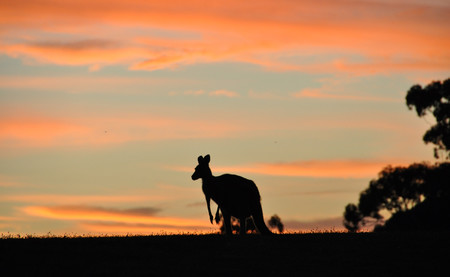 Australia ha decidido que sus granjeros pueden cazar canguros. ¿El motivo? La brutal sequía