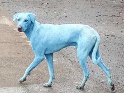 En India ya hay perros azules debido a la contaminación