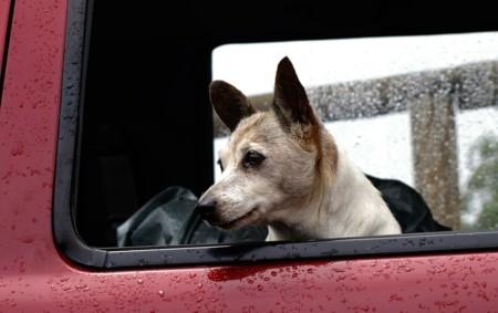 Como Viajar Mascotas Coche 35