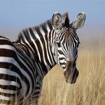 ¿Por qué tienen rayas las cebras? No es por los leones ni por el sol: sirven para repeler moscas