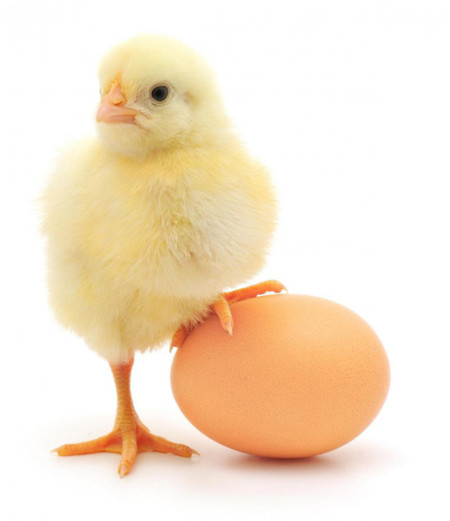 Huevo y pollo