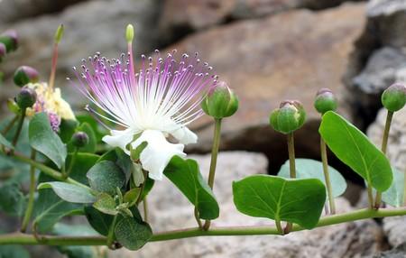 Alcaparras en Flor
