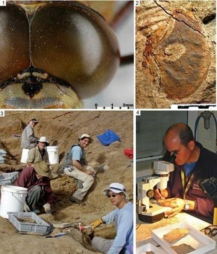 Se encuentran los ojos fósiles más complejos y antiguos del mundo