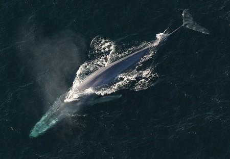 Contempla el animal más grande de la historia zapándose la comida