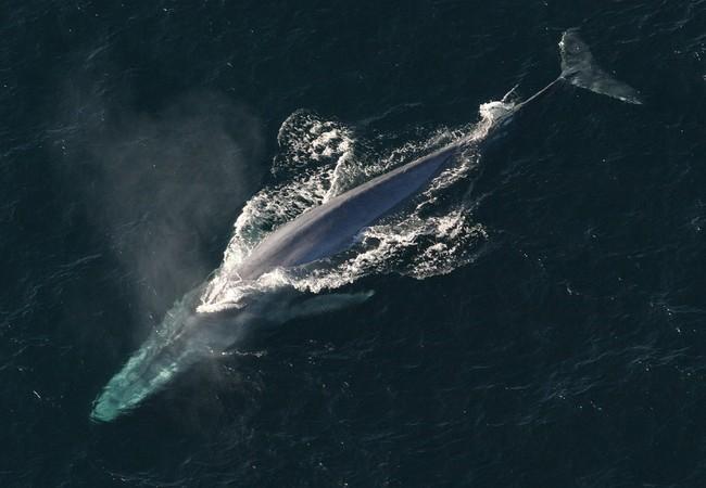 Blue Whale 1198719 960 720