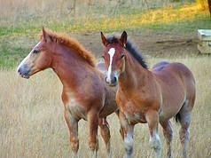 Carne de caballo, degustación en Galicia