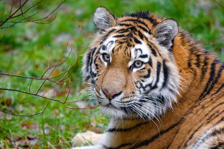 Luego del tigre detectado con COVID-19 en EUA, México tendrá medidas de bioseguridad en zoológicos para proteger a animales