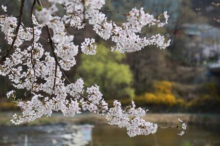 Es tiempo de cerezos en flor y estamos deseando disfrutar de su belleza.