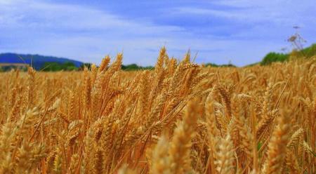 Propiedades de germen de trigo