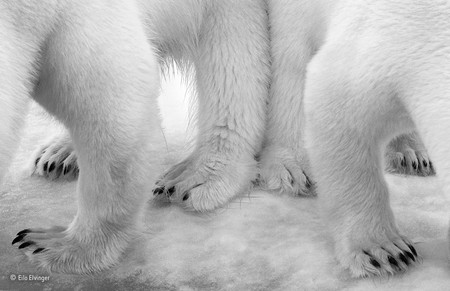 Polar Pas De Deux Eilo Elvinger Wildlife Photographer Of The