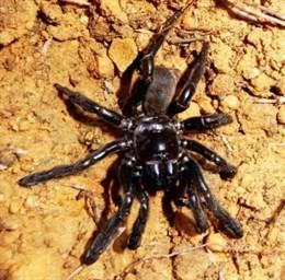 Muere la araña más longeva de la que se tenga constancia