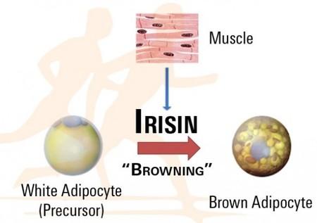 Musculos-Irisina