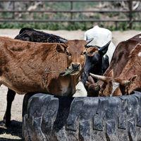 Brote de fiebre aftosa paraliza la exportación de carne en Colombia