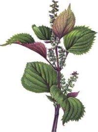Aceite de Perilla, un aliado de la salud