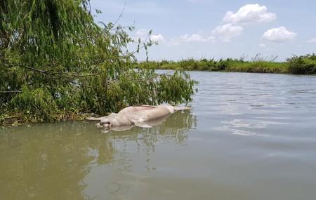 Han aparecido decenas de manatíes muertos en las costas de Tabasco, México, y nadie sabe por qué