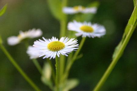 El bisabolol, un extracto vegetal muy utilizado en cosmética