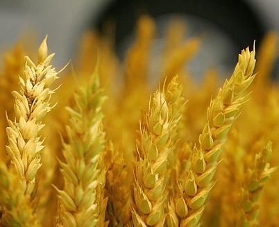 ¿Será el pan un alimento de lujo?
