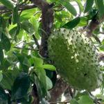 Guanadol: el poder analgésico y anti-inflamatorio de la guanábana