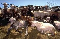 Una experiencia diferente: ser pastor de cabras