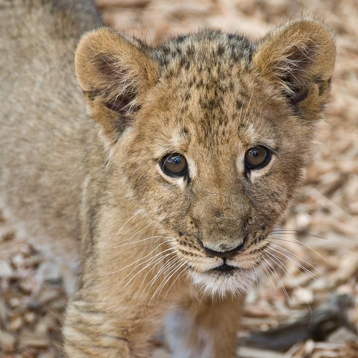 Encontraron un cachorro de león africano en una caja de cartón en un coche abandonado en Nuevo León, México