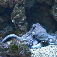 Los pulpos y los calamares pueden editar sus propios genes cerebrales