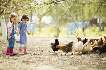 Animalistas. Gallinas libres