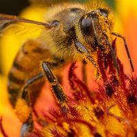 La desaparición de abejas podría estar causándola un herbicida común