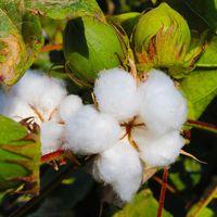 Nuevas semillas de algodón modificadas genéticamente han sido aprobadas para la alimentación humana