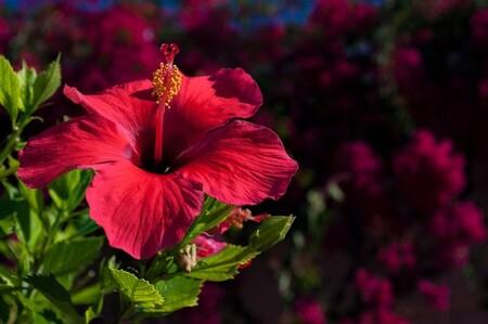 Flor de jamaica: qué es, beneficios para nuestra salud y como incorporarla a tu dieta