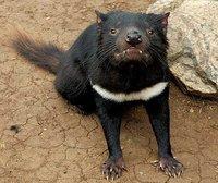 El demonio de Tasmania podría ser rescatado de su extinción