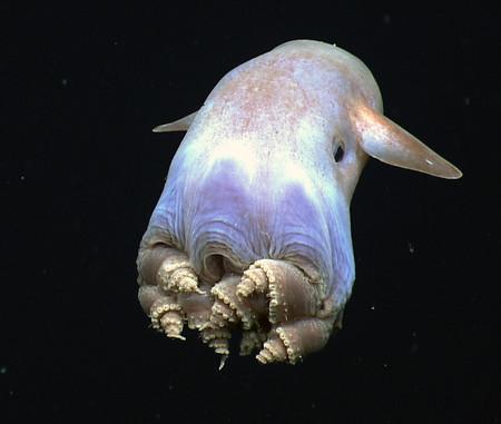 Este es el pulpo que vive a mayor profundidad y se llama Dumbo