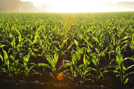 México importó mas de 13 millones de toneladas de maíz americano el año pasado.