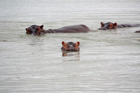 tanzania hipopotamos