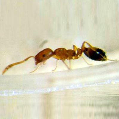 Hormigas de Malasia: si tu casa se inunda, bébete el agua