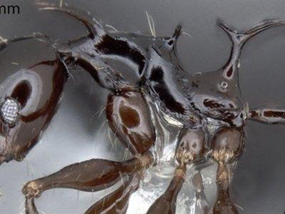 Dos nuevas hormigas recibirán nombre de personajes de 'Juego de tronos'