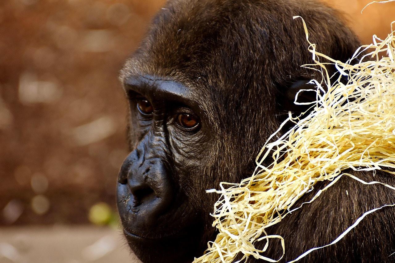 """Cuando Koko, la gorila que usaba el lenguaje de signos, """"chateó"""" con más de 10.000 personas"""