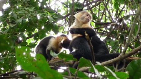 monkeysmanuelantonio