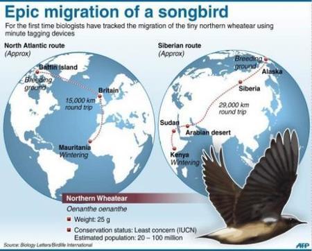 ¿Qué distancia recorre un ave cuando está migrando?