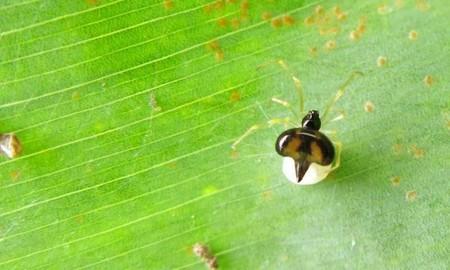 Se descubren dos especies de arañas que viven en armonía en grandes colonias