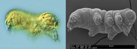 Comparación de imágenes de tardígrados en microscopio óptico y electrónico
