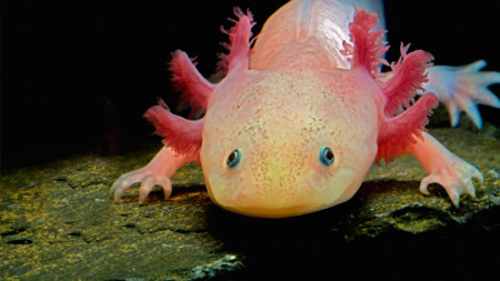 Axolotl: así es el mítico, y desconocido, anfibio exclusivo del valle de México