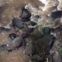 Seis elefantes pierden la vida tratando de salvarse unos a otros en una cascada