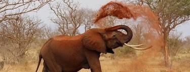 Se descubre la razón por la que los elefantes y otros animales se emborrachan tan fácilmente
