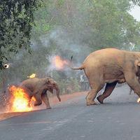 La trágica historia tras la cría de elefante ardiendo, la mejor fotografía del año en Asia
