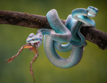Chin Leong Teo Two Headed Viper For Press Release