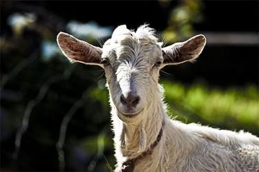 La leche de cabra podría considerarse alimento funcional