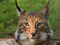 Lynx podría ser el nombre del siguiente OS de Apple