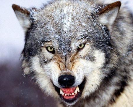 Los lobos de